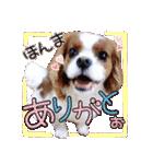 キャバリアのちゃんココvol.3優しい関西弁(個別スタンプ:01)