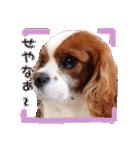 キャバリアのちゃんココvol.3優しい関西弁(個別スタンプ:22)