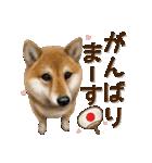 さすが!柴犬【万能型】(個別スタンプ:10)