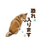 さすが!柴犬【万能型】(個別スタンプ:17)