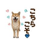 さすが!柴犬【万能型】(個別スタンプ:30)