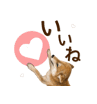 さすが!柴犬【万能型】(個別スタンプ:31)