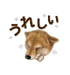 さすが!柴犬【万能型】(個別スタンプ:32)