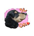 カラフル実写ダックスの子犬(個別スタンプ:1)