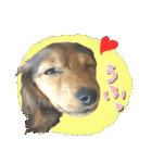 カラフル実写ダックスの子犬(個別スタンプ:7)