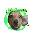 カラフル実写ダックスの子犬(個別スタンプ:8)