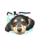 カラフル実写ダックスの子犬(個別スタンプ:13)