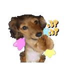 カラフル実写ダックスの子犬(個別スタンプ:20)