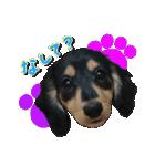 カラフル実写ダックスの子犬(個別スタンプ:25)