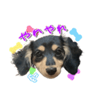 カラフル実写ダックスの子犬(個別スタンプ:26)