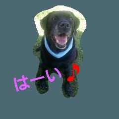 Labrador Retriever marine