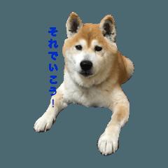 shibainu_mugi2