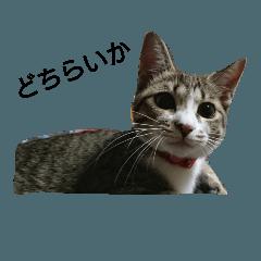 阿波弁猫 メイちゃん