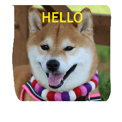 shiba dogs face