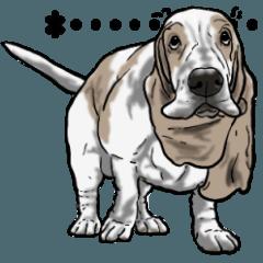 バセットハウンド(犬) 14