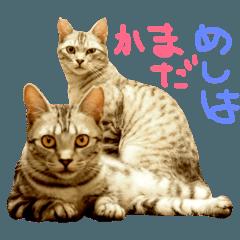 悪人顔な兄妹猫のトリコとハイジ