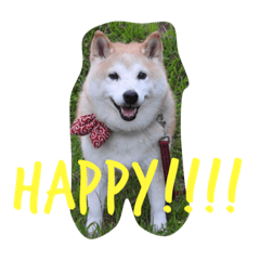 Japanese Cute Dog HIMAWARI.