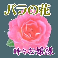 バラの花&時々お嬢様