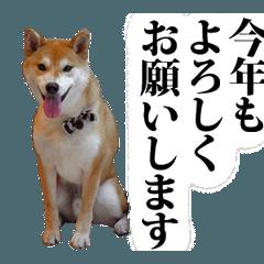【期間限定】動く柴犬★戌年★新年ご挨拶編