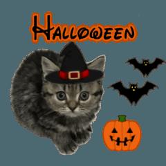 ミヌエットのショコラ子猫写真3ハロウィン